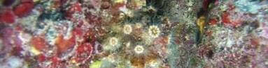 Madreporario (Caryophyllia inornata)