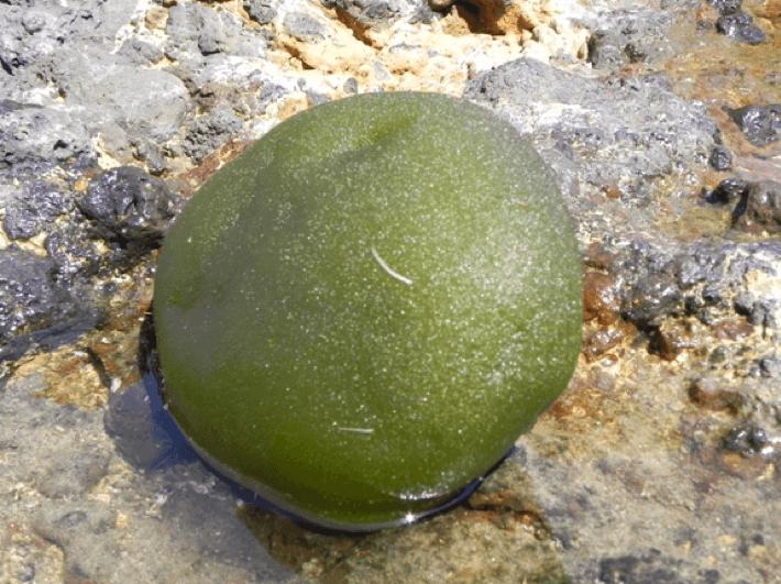 Alga palla verde